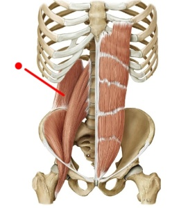 The red line points out the QL, laying next to the psoas major.