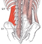 Posterior view of QL